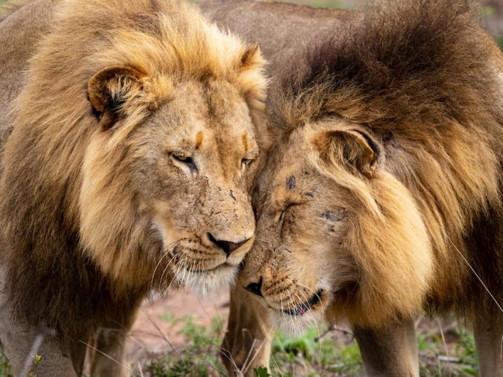 ビッグ5 ライオン