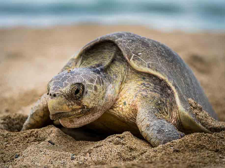 プラヤビバ|Playa Viva ウミガメ保護